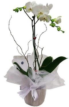 Tek dallı beyaz orkide  Eskişehir cicek , cicekci