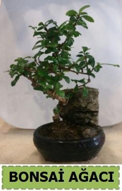 Bonsai ağacı japon ağacı satışı  Eskişehir hediye çiçek yolla