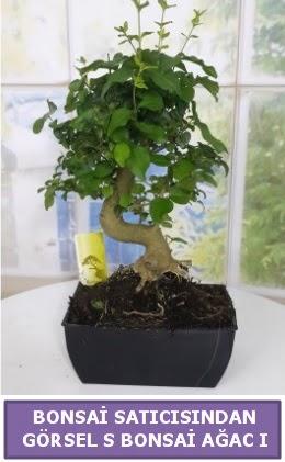 S dal eğriliği bonsai japon ağacı  Eskişehir çiçek satışı