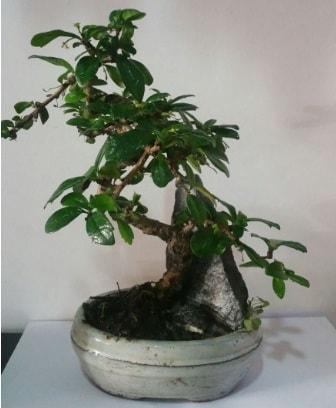 S şeklinde ithal bonsai ağacı  Eskişehir çiçek yolla