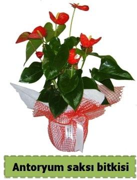 Antoryum saksı bitkisi satışı  Eskişehir çiçek , çiçekçi , çiçekçilik