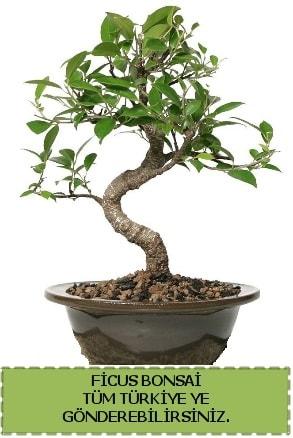Ficus bonsai  Eskişehir çiçek gönderme sitemiz güvenlidir