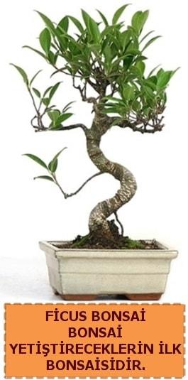 Ficus bonsai 15 ile 25 cm arasındadır  Eskişehir çiçek yolla