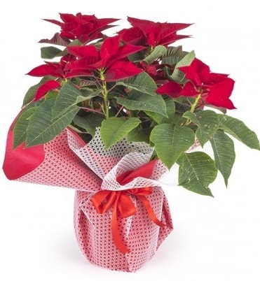 Atatürk çiçeği saksı bitkisi  Eskişehir çiçek gönderme sitemiz güvenlidir