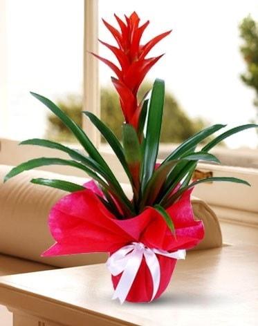Guzmanya Saksı Çiçeği  Eskişehir çiçek yolla