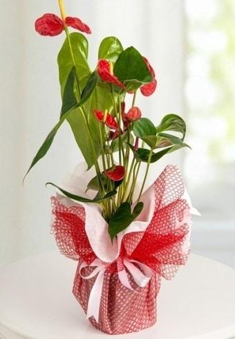 Anthurium Saksı Çiçeği  Eskişehir hediye çiçek yolla