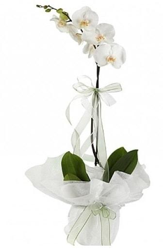 Tekli Beyaz Orkide  Eskişehir hediye çiçek yolla