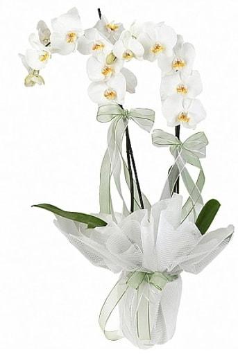 Çift Dallı Beyaz Orkide  Eskişehir anneler günü çiçek yolla