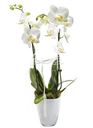 2 dallı beyaz seramik beyaz orkide saksısı  Eskişehir çiçek gönderme sitemiz güvenlidir