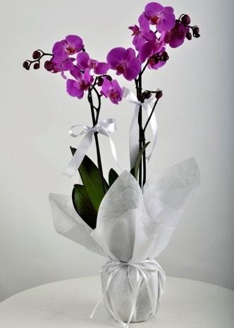Çift dallı saksıda mor orkide çiçeği  Eskişehir çiçek siparişi vermek