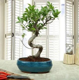 Amazing Bonsai Ficus S İthal  Eskişehir internetten çiçek siparişi