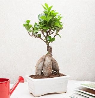 Exotic Ficus Bonsai ginseng  Eskişehir çiçek servisi , çiçekçi adresleri