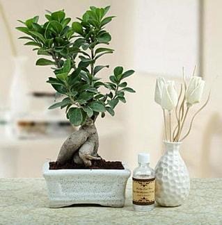 Ginseng ficus bonsai  Eskişehir çiçekçiler