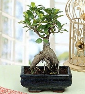Appealing Ficus Ginseng Bonsai  Eskişehir anneler günü çiçek yolla