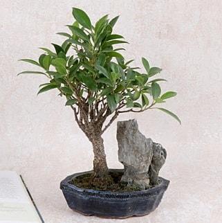 Japon ağacı Evergreen Ficus Bonsai  Eskişehir çiçek gönderme sitemiz güvenlidir