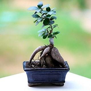 Marvellous Ficus Microcarpa ginseng bonsai  Eskişehir çiçek siparişi vermek