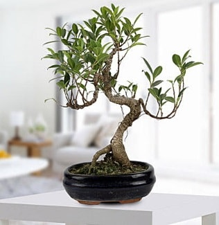 Gorgeous Ficus S shaped japon bonsai  Eskişehir yurtiçi ve yurtdışı çiçek siparişi