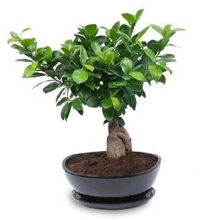 Ginseng bonsai ağacı özel ithal ürün  Eskişehir internetten çiçek satışı