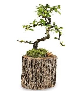 Doğal kütükte S bonsai ağacı  Eskişehir çiçek satışı