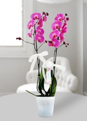 Çift dallı mor orkide  Eskişehir çiçekçiler