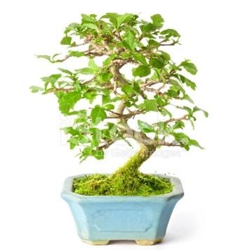 S zerkova bonsai kısa süreliğine  Eskişehir İnternetten çiçek siparişi
