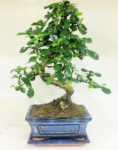 S Bonsai japon ağacı bitkisi  Eskişehir uluslararası çiçek gönderme