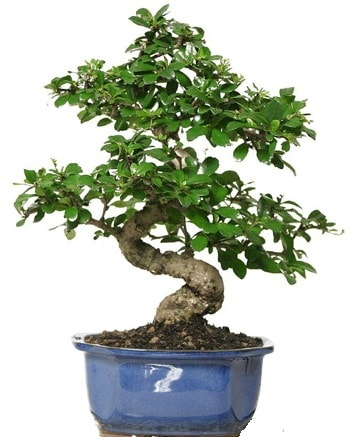 21 ile 25 cm arası özel S bonsai japon ağacı  Eskişehir çiçekçi telefonları