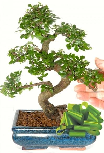 Yaklaşık 25 cm boyutlarında S bonsai  Eskişehir çiçek siparişi sitesi