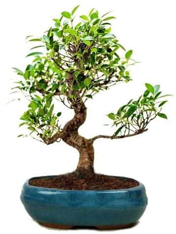 25 cm ile 30 cm aralığında Ficus S bonsai  Eskişehir çiçek gönderme sitemiz güvenlidir