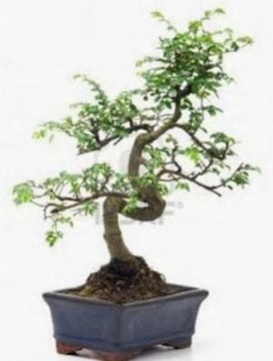 S gövde bonsai minyatür ağaç japon ağacı  Eskişehir çiçek satışı