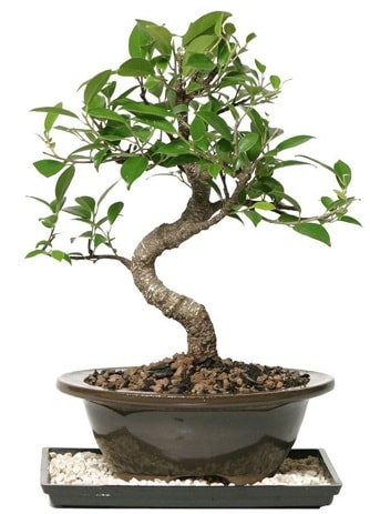 Altın kalite Ficus S bonsai  Eskişehir çiçekçi telefonları  Süper Kalite