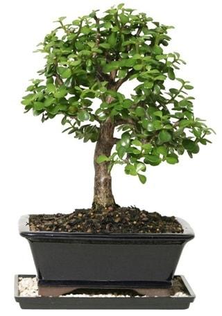 15 cm civarı Zerkova bonsai bitkisi  Eskişehir çiçek siparişi sitesi