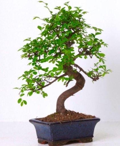 S gövdeli bonsai minyatür ağaç japon ağacı  Eskişehir çiçek gönderme sitemiz güvenlidir