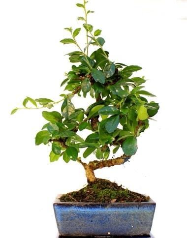 S gövdeli carmina bonsai ağacı  Eskişehir çiçek yolla  Minyatür ağaç