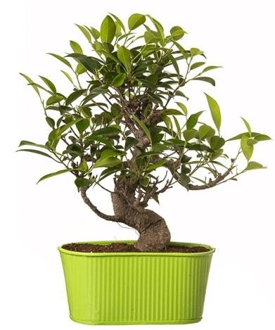 Ficus S gövdeli muhteşem bonsai  Eskişehir çiçek siparişi sitesi