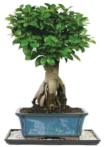 Bonsai Ginsing Grafted Ficus Bonsai  Eskişehir çiçek yolla