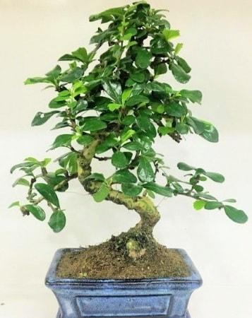 Zelkova S gövdeli Minyatür ağaç Bonzai  Eskişehir çiçek gönderme