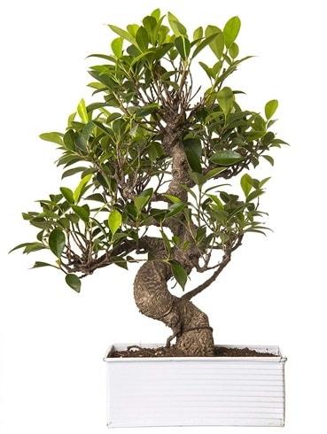 Exotic Green S Gövde 6 Year Ficus Bonsai  Eskişehir çiçek gönderme sitemiz güvenlidir