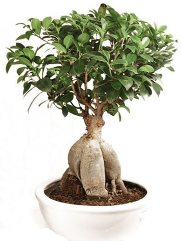 Ginseng bonsai japon ağacı ficus ginseng  Eskişehir İnternetten çiçek siparişi