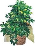 Eskişehir internetten çiçek siparişi  Schefflera gold